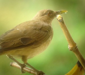 Yiguirro: The national bird of Costa Rica