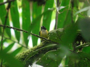 My Favorite Rain Forest for birding Costa Rica