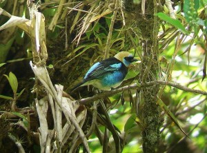 Common Costa Rican Birds; Palm Tanager