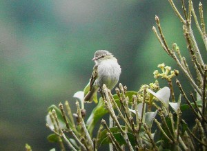 Costa Rica birds to know; Paltry Tyrannulet