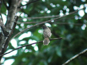 What to study for a birding trip to Costa Rica