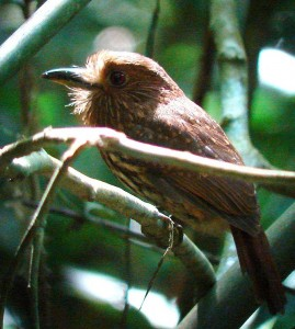 How to see puffbirds when birding in Costa Rica