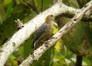 Melanerpes genus woodpeckers of Costa Rica