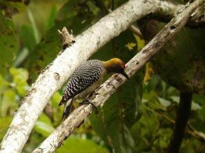 Hoffman's Woodpecker, Costa Rica