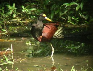 birding Costa Rica Northern Jacana