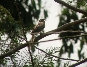 birding Costa Rica Striped Cuckoo