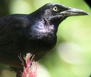 Four Common Black Birds of Costa Rica