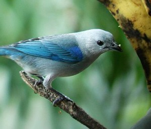 Blue Gray Tanager birding Costa Rica