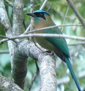 Blue-crowned Motmot birding Costa Rica