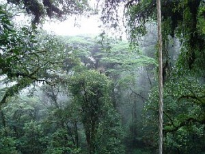 Rainforest canopy, Heliconias, Costa Rica