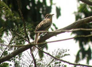 Striped Cuckoos are common in Costa Rica but where's the Pheasant?
