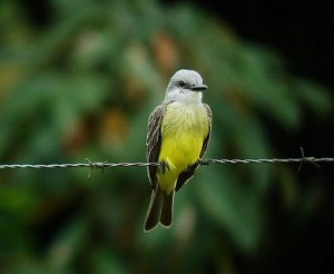 Tropical Kingbird Costa Rica birding