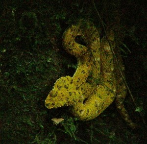 Yellow Eyelash Viper, Heliconias, Costa Rica
