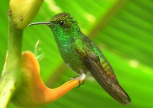 Coppery-headed Emerald birding Costa Rica