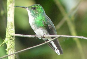 Coppery-headed Emerald female