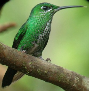 birding Costa Rica Green crowned brilliant