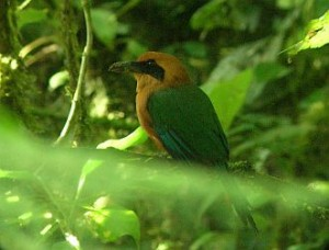 Rufous Motmot birding Costa Rica