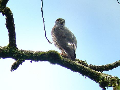 Double-toothed Kite birding Costa Rica