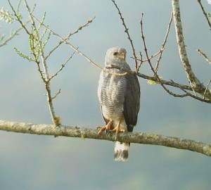 Gray Hawk birding Costa Rica
