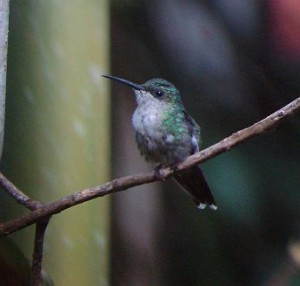 Violet-crowned Woodnymph female