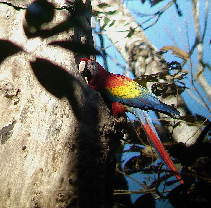 Tips on parrot identification when birding Costa Rica