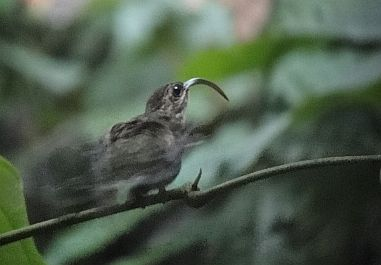 Highlights from birding and guiding Costa Rica in 2010