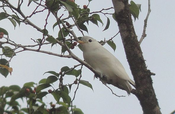 The Best Sites for Seeing Cotinga Species when Birding Costa Rica