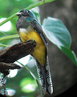 Costa Rica Birding Highlights from Guiding at Carara National Park