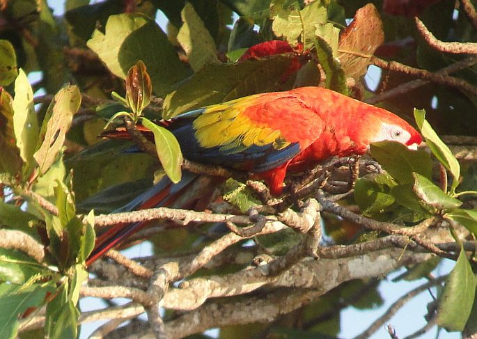Scarlet Macaw in a Beach Almond