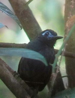 Some Recent Birding Magic from Carara National Park, Costa Rica