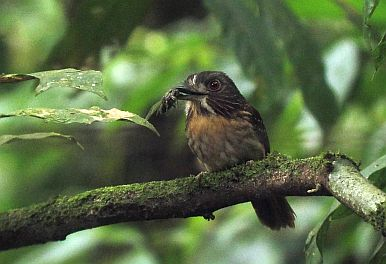 Easy, Great Caribbean Lowland Birding in Costa Rica at El Gavilan Hotel