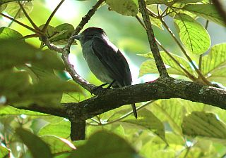 Where to see Becards when Birding in Costa Rica