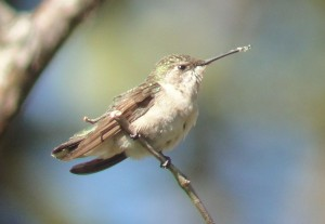 Identification Tips When Birding Costa Rica: Small, Plain Hummingbirds Species