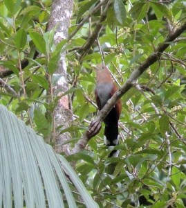 How to Find Sites for Rare Birds in Costa Rica in the Caribbean Lowlands (use Google Earth)