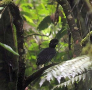 Where Can I See a Snowcap when Birding Costa Rica?