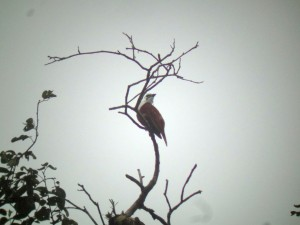 Some Highlights from Good, Rainy Birding on the Manuel Brenes Reserve Road