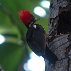 The Best Places to see Woodpeckers in Costa Rica