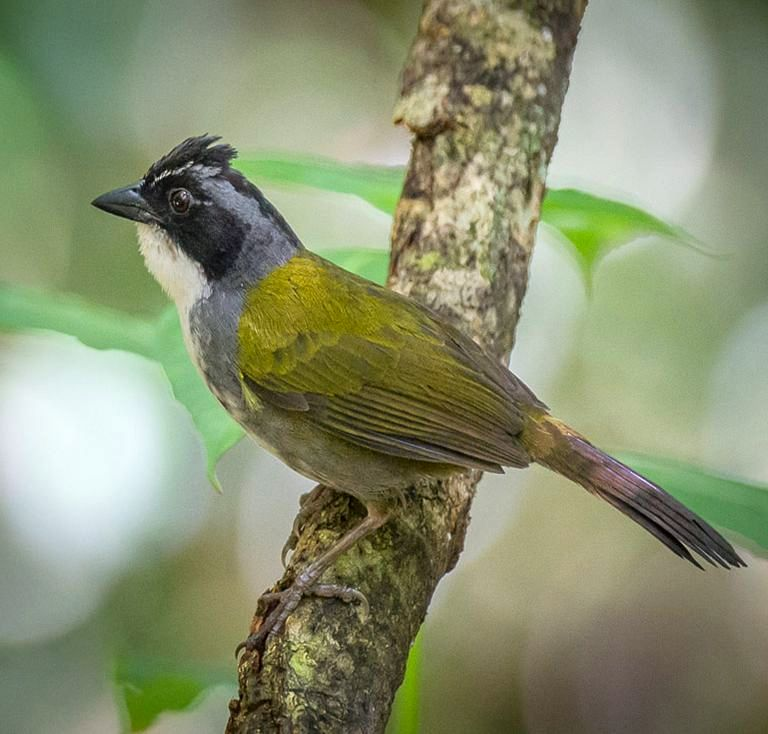 2014 Expectations And Hopes For Birding In Costa Rica