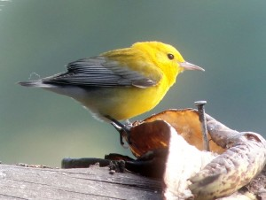 A Prothonotary Warbler eats a Banana in Costa Rica and the Nature Pavilion Delivers as Always