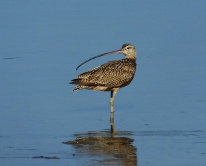 Finally, Long-billed Curlew in Costa Rica!