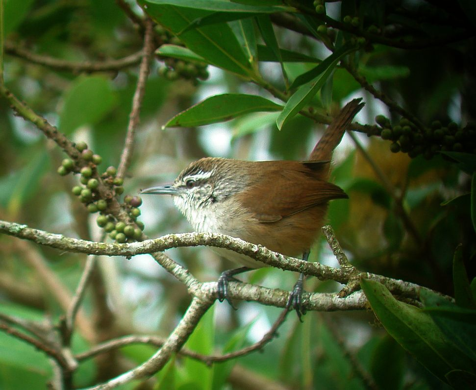Big Cool Wrens of Costa Rica – Costa Rica Living and Birding