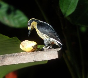 Highlights from Birding in Costa Rica, 2014