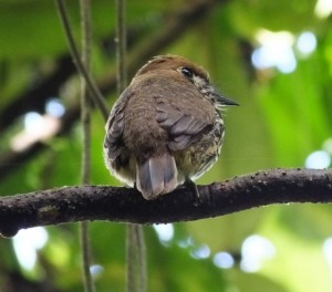 A Monklet Says Hello in Costa Rica
