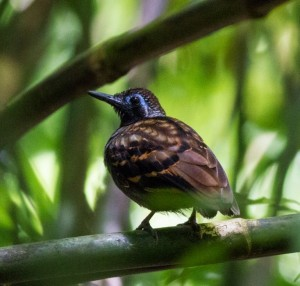 Where and Why to Look for Wing-banded Antbird in Costa Rica