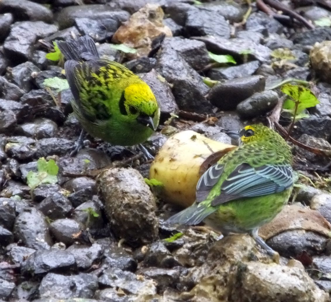 Yes ... & Tanager Fest at the San Luis Canopy