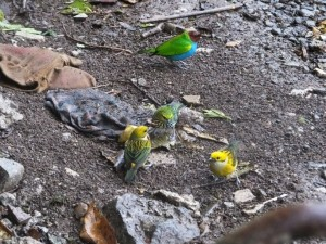 Tanager Fest at the San Luis Canopy