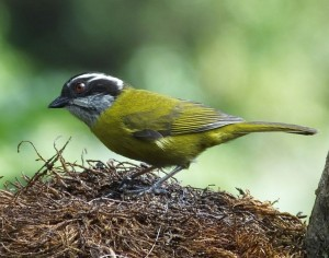 A Weekend of High and Dry Birding in Costa Rica
