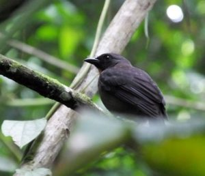 Black cheeked Ant Tanager