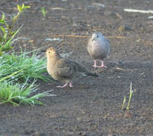 plain-breasted-ground-dove