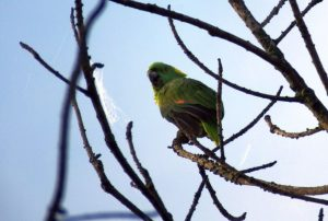 yellow-naped-parrot